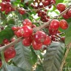 Thumbnail_coffee_cherries