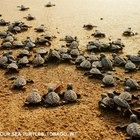 Thumbnail_sea_turtle_volunteering